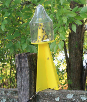 Stink bug trap in use